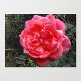A Rose Is A Rose Canvas Print