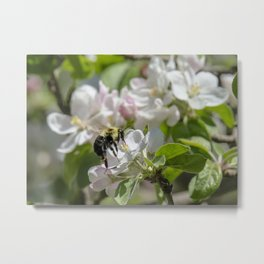 Thinking of apple blossom time Metal Print