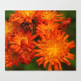 Orange Hawkweeds Canvas Print