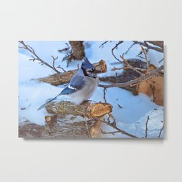 Blue Jay on a White Cedar Log Metal Print