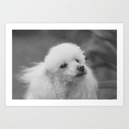 Toy Poodle Art Print