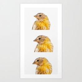 Sicalis Flaveola Bird Collage Art Print