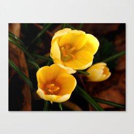 Yellow Crocus, Late Winter Canvas Print