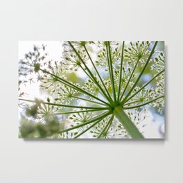 Delicate cow parsley Metal Print