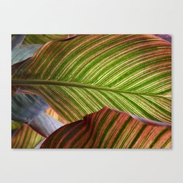 Striped Canna Lily Leaves Canvas Print