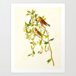 Lesser Red-Poll Bird Art Print