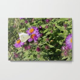 Cabbage Butterfly on Purple Aster Metal Print