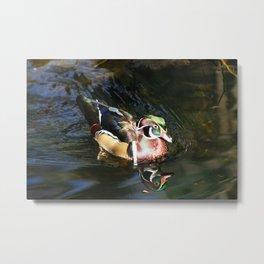 Beautiful Wood Duck Metal Print
