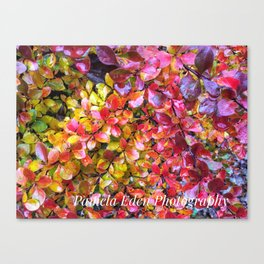 Barberry Fall Colors Canvas Print