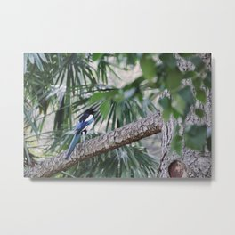 Magpie in Barcelona Metal Print