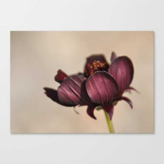 Chocolate Cosmos I Canvas Print