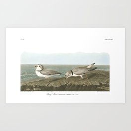 Piping Plover by John Audubon Art Print