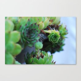 some kind of cactus 3 Canvas Print