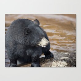 Black Bear (Ursus americans) near water Canvas Print
