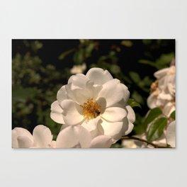 Honeybee on White Rose Canvas Print