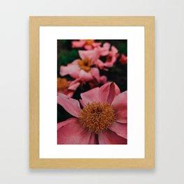 Pink Peony Flower Photographic Study 2 Framed Art Print