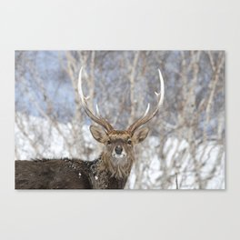 Sika Deer Canvas Print