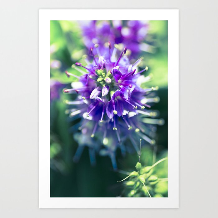 Alien Bloom - Hebe, Or Shrubby Veronica Art Print