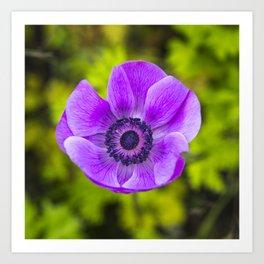 Purple poppy Art Print