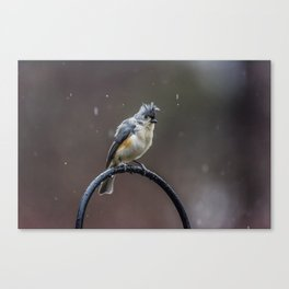 Tufted Titmouse shaking off the rain Canvas Print