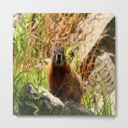 Marmot On A Rock Metal Print