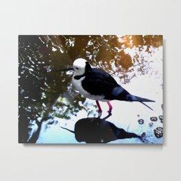 Black-winged Stilt - Color Metal Print