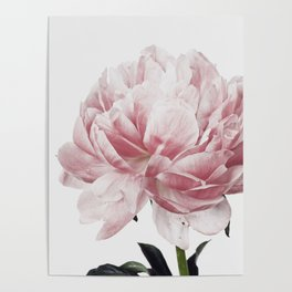 Peony, Flower, Pink, Plant, Trendy decor, Interior, Wall art, Photo Poster