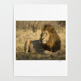 CW-002 Male Lion Poster