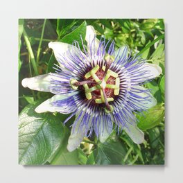 Passiflora Against Green Foliage In A Garden  Metal Print