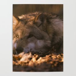 A wolf lying in the evening sun Poster
