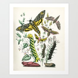 Deaths Head Hawk Moth Natural History Illustration from Schmetterlings buch, 1883  Art Print