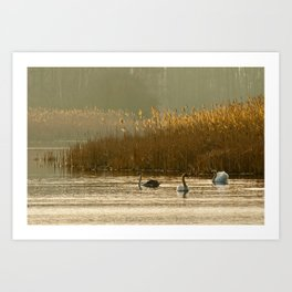 Lake of swans Art Print