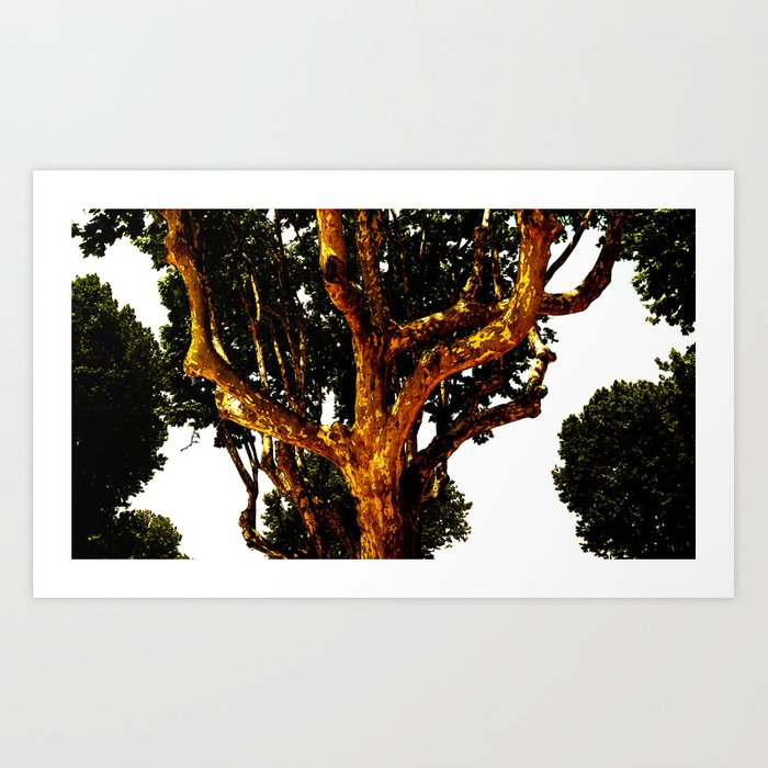 The Sycamores Art Print