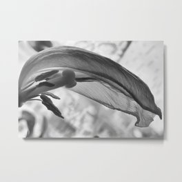 Withered tulip Metal Print