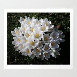 WHITE SPRING CROCUSES Art Print