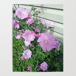 Pink Musk Mallow Bush in Bloom Poster