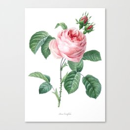 Nature, botanical print, flower poster art of Provence rose Canvas Print