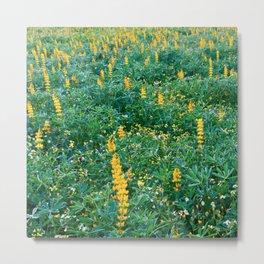 Field of lupins in bloom Metal Print