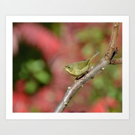 Female Common Yellow-throat Art Print