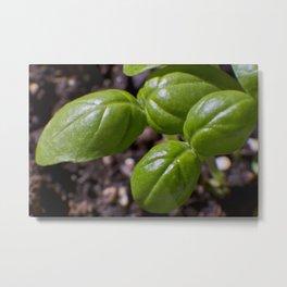 Basil new growth Metal Print