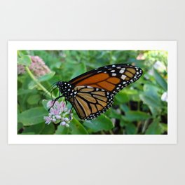 Beautiful Monarch Butterfly Art Print