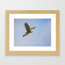 Kestrel Hovering Framed Art Print