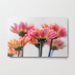 Aster Pink 096 Metal Print