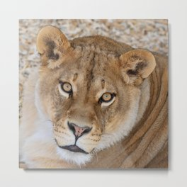 Lioness by OLena Art Metal Print