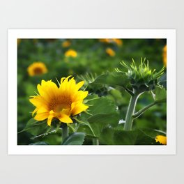 Sunflower Field and Early Bloomers Art Print