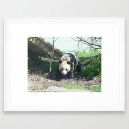 Yang Guang the panda Framed Art Print