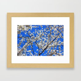 Cherry Blossoms in DC Framed Art Print