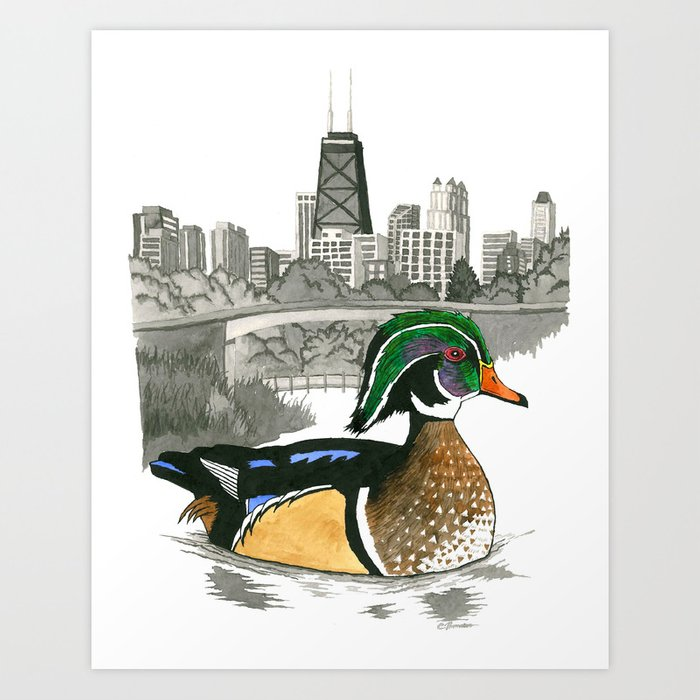Wood Duck in Lincoln Park Art Print