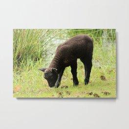 Grazing Black Lamb Metal Print