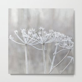 cow parsley plant  with hoarfrost in winter Metal Print